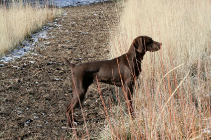 Epps Kennels Training Gundogs And Puppies Available